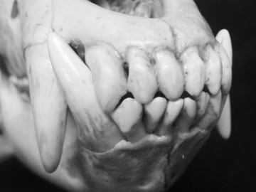 Pin Grizzly-bears-teeth on Pinterest